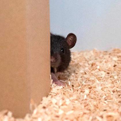 Eine Ratte beim Versteckspiel/ A rat playing hide and seek