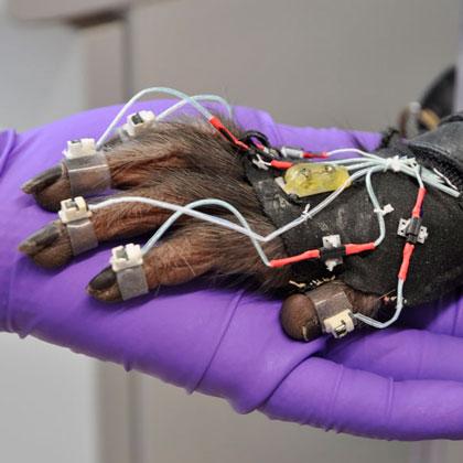 Ein Rhesusaffe (Macaca mulatta) trägt einen Datenhandschuh zur Erfassung detaillierter Hand- und Armbewegungen/ A rhesus macaque (Macaca mulatta) wearing a data glove for detailed hand and arm tracking