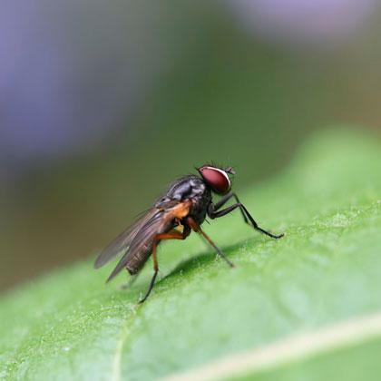 Fliege sitzt auf grünem Blatt/ Fly sitting on a green leaf